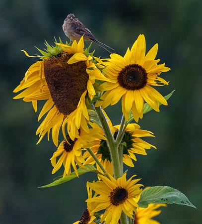 Sunflower Cafeteria