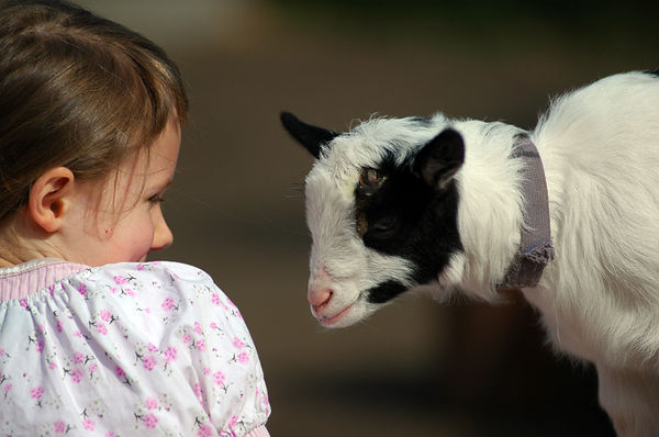A little girl giggles with a goat at a petting zoo - Beacon Hill Park, Victoria, B.C., Canada