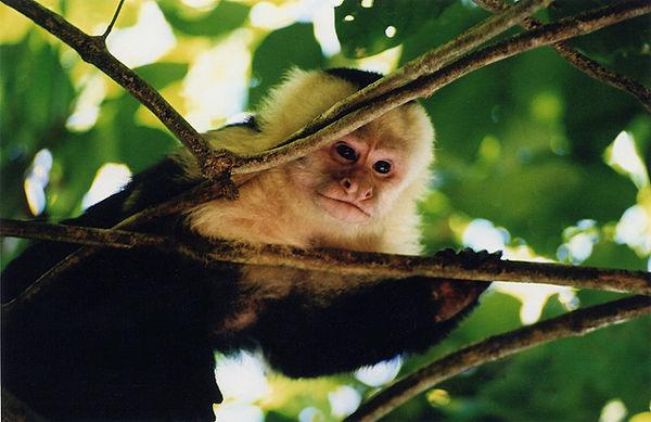 Willd Capuchin Monkey - Costa Rica