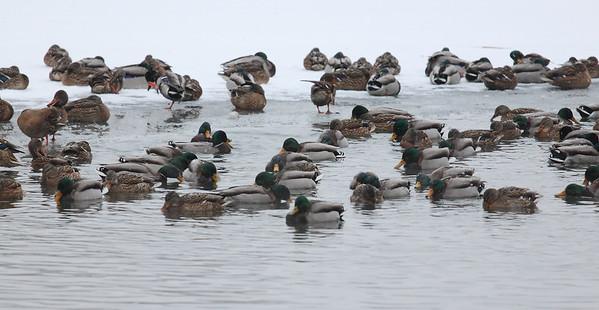Mallards on Ice — Kacsák a jégen