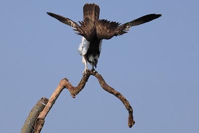 Stretching Osprey — Nyújtózkodó halászsas