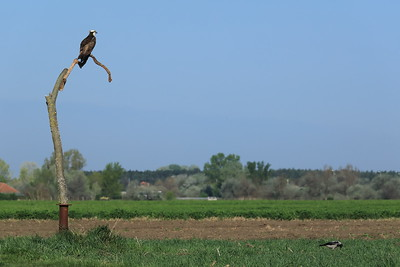 Osprey and Hooded Crow — Halászsas és dolmányos varjú