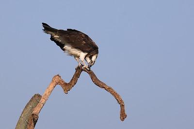 Osprey Cleaning his Talon — Karmát tisztogató halászsas
