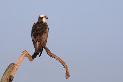 Osprey — Halászsas
