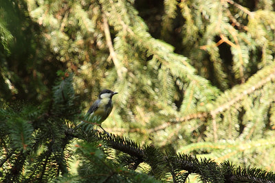 Great Tit on a Pine Tree — Széncinege fenyőágon