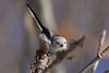 Long-Tailed Tit (Aegithalos Caudatus) — Őszapó