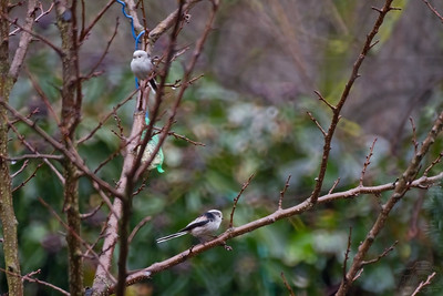 Long-tailed Tits in the Rain — Őszapók az esőben