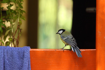 Great Tit — Széncinege