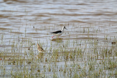 Blackwinged Stilt and Common Redshank — Gólyatöcs és piroslábú cankó