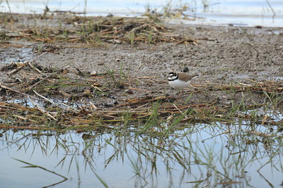 Little Ringed Plover — Kis lile