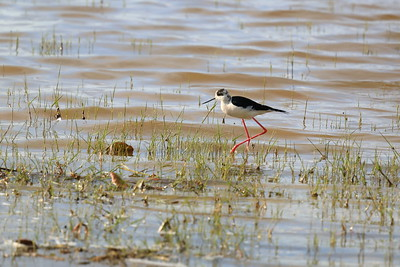 Blackwinged Stilt — Gólyatöcs