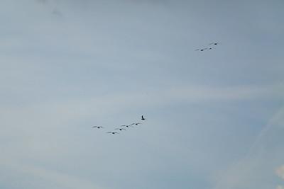 Wikd Geese — Vadludak