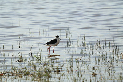 Black Winged Stilt — Gólyatöcs