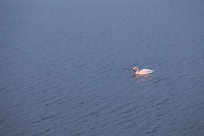 Swan in Golden Hour — Hattyú az Arany Órában