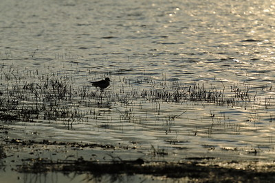 Black Winged Stilt in Sunset — Gólyatöcs a naplementében