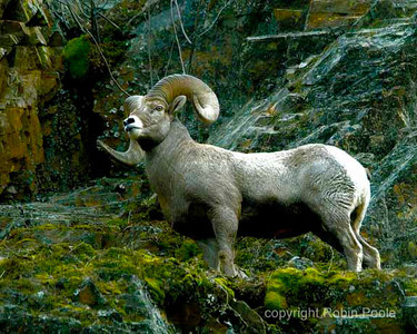 Rocky Mountain Sheep