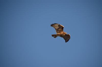 P00076_DSC_0112_Red_Tail_Hawk