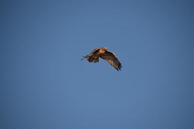 P00074_DSC_0111_Red_Tail_Hawk