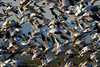 Snow Geese Flight copy