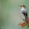 Lophornis magnificus<br /> Topetinho-vermelho fêmea<br /> Frilled Coquette female<br /> Coqueta magnífica
