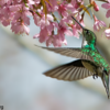 Leucochloris albicollis<br /> Beija-flor-de-papo-branco<br /> White-throated Hummingbird<br /> Pica flor garganta blanca - Maimunby pyti'a morotí
