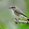Empidonomus varius<br /> Peitica<br /> Variegated Flycatcher<br /> Tuquito chorreado - Suiriritî