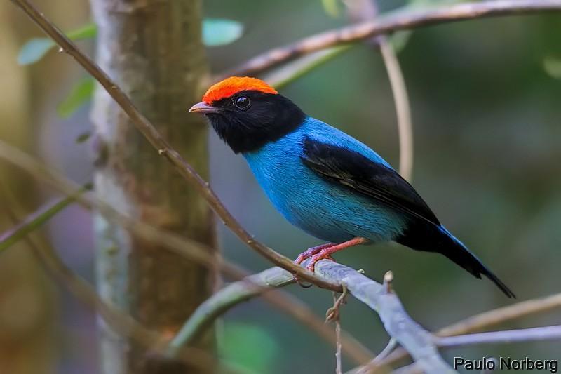 Chiroxiphia caudata<br /> Tangará dançarino<br /> Swallow-tailed Manakin<br /> Bailarín azul - Saraki hovy