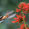 Phaethornis eurynome<br /> Beija-flor-rabo-branco-de-garganta-rajada<br /> Scale-throated Hermit<br /> Ermitaño escamado - Mainumby ruguaitî