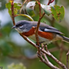 Poospiza thoracica<br /> Peito-pinhão<br /> Bay-chested Warbling-Finch<br /> Monterita pecho castaño