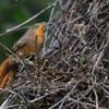 Phacellodomus erythrophthalmus<br /> João-botina-da-mata imaturo<br /> Orange-eyed Thornbird immature<br /> Espinero del bosque