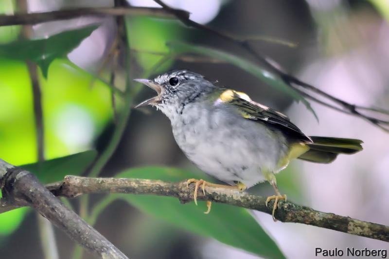 Basileuterus leucoblepharus<br /> Pula-pula-assobiador<br /> White-browed Warbler<br /> Arañero silbón - Mboropi