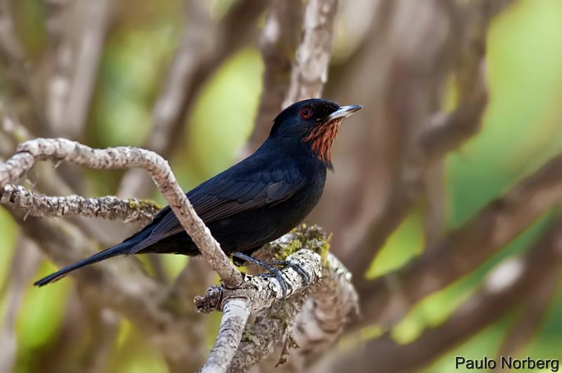Knipolegus nigerrimus<br /> Maria-preta-de-garganta-vermelha fêmea<br /> Velvety Black-Tyrant<br /> Tirano negro aterciopelado