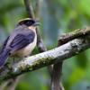 Lanio melanops<br /> Tié-de-topete<br /> Black-goggled Tanager<br /> Frutero corona amarilla - Kasygua