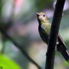 Chiroxiphia caudata<br /> Tangará dançarino imaturo<br /> Swallow-tailed Manakin immature<br /> Bailarín azul - Saraki hovy