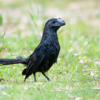 Crotophaga ani<br /> Anu-preto<br /> Smooth-billed Ani<br /> Anó chico - Ano
