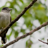 Pachyramphus polychopterus<br /> Caneleiro-preto imaturo<br /> White-winged Becard immature<br /> Anambé negro - Anambe hû