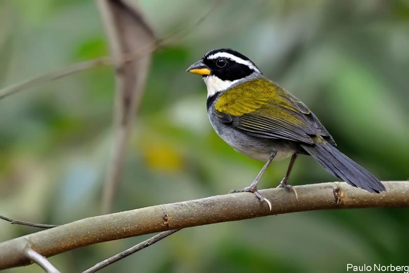 Arremon semitorquatus<br /> Tico-tico-do-mato<br /> Half-collared Sparrow<br /> Saltón medio acollarado
