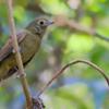Schiffornis virescens<br /> Flautim<br /> Greenish Schiffornis<br /> Bailarín oliváceo - Tiotoi