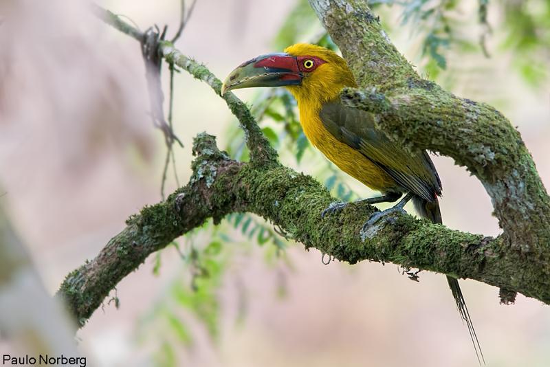 Pteroglossus bailloni<br /> Araçari-banana<br /> Saffron Toucanet<br /> Arasarí banana - Tukâ pakova