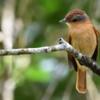 Pachyramphus castaneus<br /> Caneleiro-castanho<br /> Chestnut-crowned Becard<br /> Anambé castaño - Anambe pytâ