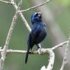 Cyanoloxia brissonii<br /> Azulão<br /> Ultramarine Grosbeak<br /> Reinamora grande - Kai kai