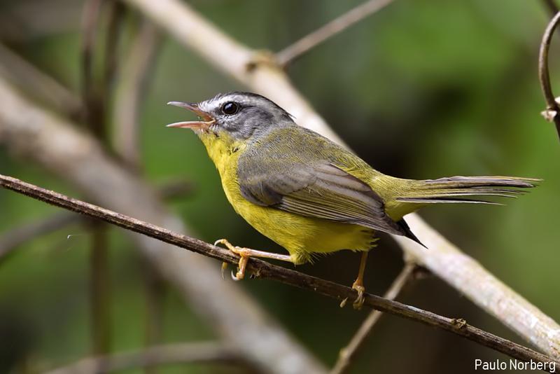 Basileuterus culicivorus<br /> Pula-pula<br /> Golden-crowned Warbler<br /> Arañero coronado - Mbariki'i