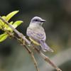 Tyrannus melancholicus<br /> Suiriri<br /> Tropical Kingbird<br /> Juan Caballero - Suiriri guasu