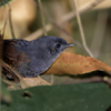 Scytalopus speluncae<br /> Tapaculo-preto<br /> Mouse-colored Tapaculo<br /> Churrín plomizo