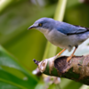 Nemosia pileata<br /> Saíra-de-chapéu-preto fêmea<br /> Hooded Tanager female<br /> Frutero cabeza negra - Bevyra