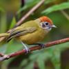Hylophilus poicilotis<br /> Verdinho-coroado<br /> Rufous-crowned Greenlet<br /> Chiví coronado - Chivi akâ pytâ