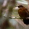 Sclerurus scansor<br /> Vira-folha<br /> Rufous-breasted Leaftosser<br /> Raspahojas - Mborevi pochigua