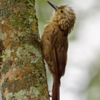 Dendrocolaptes platyrostris<br /> Arapaçu-grande<br /> Planalto Woodcreeper<br />  Trepador oscuro - Pykumbe'i
