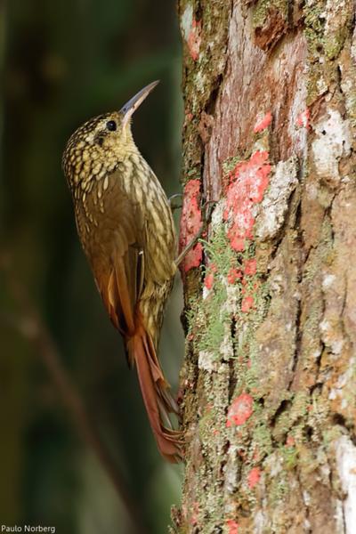 Xiphorhynchus fuscus<br /> Arapaçu-rajado<br /> Lesser Woodcreeper<br /> Chinchero enano - Arapasu'i