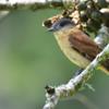 Pachyramphus validus<br /> Caneleiro de chapéu-preto<br /> Crested Becard<br /> Anambé grande - Anambe